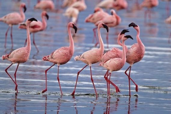 lesser-flamingo_624